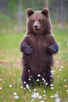 """""""Wet Paws…! """" byBrett Lewis A young, European Brown Bear standing tall among the wet meadows of cotton grass, Finland."""