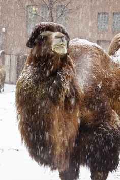 Bactrian Camel (2 Humped)