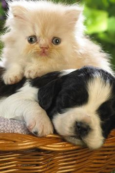 56 Best Dogs And Cats Together Images Dogs Cats Dog Cat