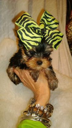 free teacup puppies in texas Micro Teacup Yorkie Poo