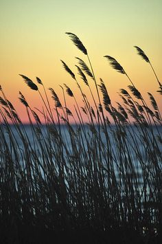 Reeds At Sunset Island Beach State Park Nj by Terry DeLuco  #reeds #islandbeachstatepark #sunset #jerseyshore #terrydeluco #terrydphotography