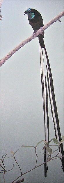 Astrapia Bird of Paradise- I found my Halloween costume!