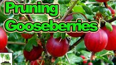 In this episode of UK Here We Grow, Tony O'Neill shows you how best to prune your gooseberry plants for high yields. Wielding a pair of secateurs he shows yo. Gooseberry Plant, Food Craving Chart, Secrets Revealed, Garden Gifts, Food Cravings, Fruit Trees, Gardening Tips, Berries