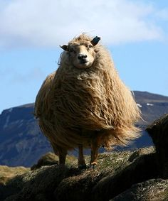 The hills are alive, with the sound of sheeeep.....