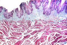 Lengua. Epitelio plano estratificado, lámina propia y haces musculares.