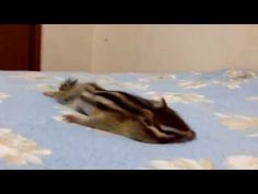 This chipmunk yawning, stretching and enjoying a fuzzy blanket is so, so, so cute | Rare