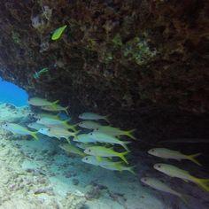 Sunday school!  #Hawaii #scuba #Gopro #diving with #yellowstripegoatfish #coralreef #longnosebutterflyfish with @hawaiiscubadiving #honolulu http://ift.tt/1WwCXtX