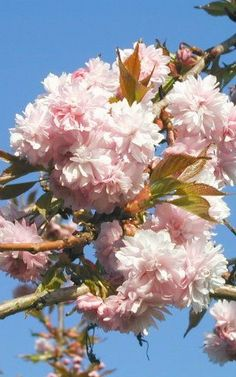 PRUNUS SERRULATA 'KIKU-SHIDARE-ZAKURA' - Japanse sierkers Prunus, Japan, Peach, Japanese