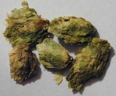 www.yearstoyourhe... - Hops are the female flower clusters (commonly called seed cones or strobiles), of a hop species, Humulus lupulus. They are used primarily as a flavoring and stability agent in beer. Photo by Harvey Robinson, Copyright 2012, All Rights Reserved.