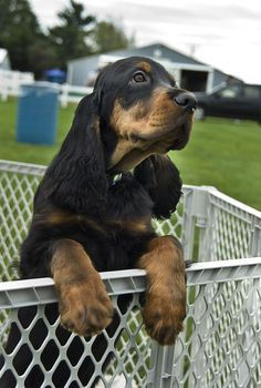 Gordon Setter Puppy | Flickr - Photo Sharing!