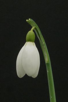 Galanthus  Button  a Collectors Snowdrop