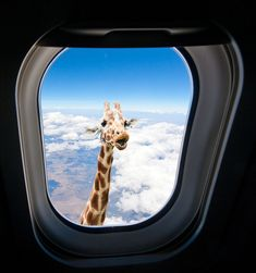 Giraffe looking through airplane window | by Buck Forester
