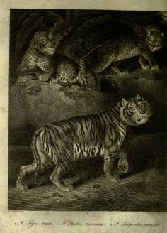Tiger, Panther, Leopard, A History of the Earth, and Animated Nature, Oliver Goldsmith, 1825.