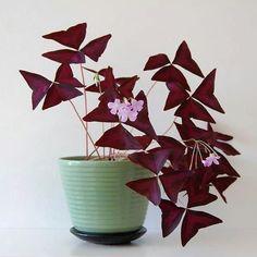 Trevo Roxo- ornamentação com plantas fáceis #kokedamasideas