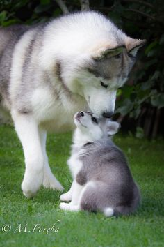 Mommie and baby husky <3