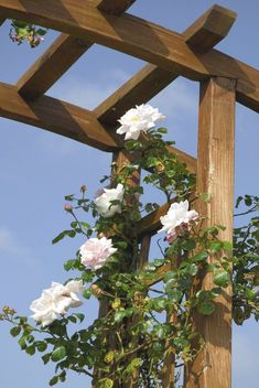 Training Climbing Roses – How To Get A Climbing Rose To Climb Yellow Climbing Rose, New Dawn Climbing Rose, Red Climbing Roses, Climbing Rose Trellis, Trellis Fence, Diy Trellis, Garden Trellis, Garden Arbor, Garden Gates
