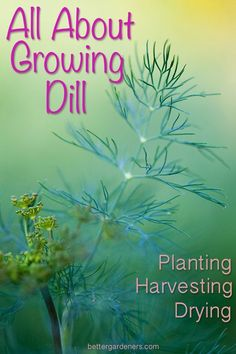 Everything you need to know about growing dill. From planting, to pruning, harvesting, and drying. Also includes yummy recipes that use fresh dill. How to grow indoors and outdoors or in containers. Source by artsyannietx Indoor Vegetable Gardening, Home Vegetable Garden, Container Gardening, Organic Gardening, Gardening Tips, Herbs Garden, Gardening Zones, Beginners Gardening, Kitchen Gardening