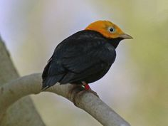 File:Golden-headed Manakin RWD.jpg