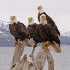 I want to go to Alaska again someday so I can see eagles like these. Homer Alaska Eagles by Sandee Rice. I saw eagles pretty regularly. The Eagles, Bald Eagles, Love Birds, Beautiful Birds, Animals Beautiful, Eagle Pictures, Animal Pictures, Eagle Images, Photo Aigle