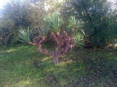The Yucca - looking better after nettoyage in October 2012!