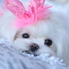 Maltese and Children: Is It a Good Combination - Champion Dogs Teacup Puppies, Cute Puppies, Cute Dogs, Dogs And Puppies, Doggies, Teacup Maltese, I Love Dogs, Puppy Love, Baby Animals