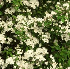 kiiminginangervo Martti FinE Herbs, Plants, Herb, Plant, Planets, Medicinal Plants