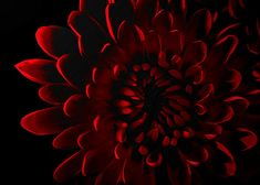 red chrysanthemums  | Red Chrysanthemum by bob1217 / © All rights reserved