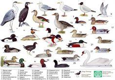 welke dieren leven er in bos nederland - Google zoeken