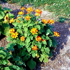 Want to attract hummingbirds to your garden? Consider these hummingbird plants that hummingbirds love to visit. Flowers That Attract Hummingbirds, How To Attract Birds, Hummingbird Flowers, Hummingbird Garden, Mexican Sunflower, Fuchsia Flower, Fast Growing Plants, Blooming Plants, Amazing Flowers