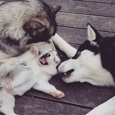 See more Beautiful Siberian Husky Dog photos,. - Where Is My Husky - Husky Beautiful, Funny Momment Photos Cute Husky, My Husky, Husky Mix, Husky Puppy, Animals And Pets, Baby Animals, Funny Animals, Cute Animals, Cute Puppies