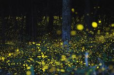 odditiesoflife: Long Term Exposure of Mating Gold Fireflies Japanese photographer Yuki Karo goes to various places around Maniwa and Okayama Prefectures in Japan and uses long exposure to capture some stunning shots of mating gold fireflies. Firefly Photography, Time Lapse Photography, Exposure Photography, Motion Photography, Aerial Photography, Light Painting, Long Exposure Photos, Hotarubi No Mori, Outdoor Blinds