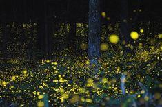 Gold fireflies by Japanese photographer Yuki Karo