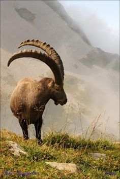 The Ibex is a wild goat of mountain habitats. They are very agile ...