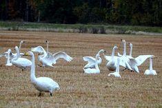 Suositulle lintujen bongauspaikalle laskeutui joutsen, jolla oli kaulassaan iso muoviputki – katso kuvat | Yle Uutiset | yle.fi
