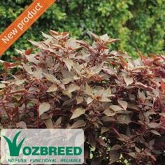 Iresine herbstii IRRESISTIBLE™ Sweet chocolate coloured foliage with splashes of pink along the centre and stems, compact and neat growing, perfect for contrast planting, borders and pots. Prefers a warm spot protected from frost. #foliage#accent#hedge#compact