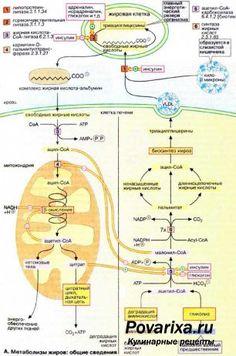 Формула метаболизма - расчет базового уровня метаболизма