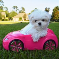 Maltese and Children: Is It a Good Combination - Champion Dogs Teacup Puppies, Cute Puppies, Cute Dogs, Dogs And Puppies, Teacup Maltese, Doggies, Animals And Pets, Baby Animals, Cute Animals