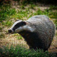 #dachs #badger #grævling #grävling #mäyrä #grevling #jagd #jakt #hunting…
