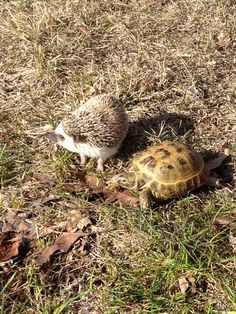 My Russian tortoise Herman and African Pygmy Headgehog Quazzie playing in the yard together.