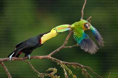 Keel-billed Toucan. #Birds