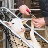 Hold sheep reliably in a relaxed position which allows the use of both hands to trim feet, tag ears, examine and medicate. Sheep Shelter, Pet Sheep, Sheep Farm, Animal Shelter, Goat Hoof Trimming, Dog Wheelchair, Goat Care, Nigerian Dwarf Goats, Sheep Breeds