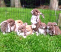 So sweet to see this again Photo by @militodieren  . . . . .  #tbt #fransehangoor #frenchlop #konijn #kaninchen #lapin #rabbit #rabbitstagram #rabbitworldwide #rabbitsofinstagram #instarabbit #rabbitlove #bunny #bunniesworldwide #bunnystagram #bunniesofinstagram #bunnyaccount #bunnylove #instabunny #pet #petlover #petstagram #instapet #animal #animalstagram #love #cute #dutch #millasunday #fabbunnies