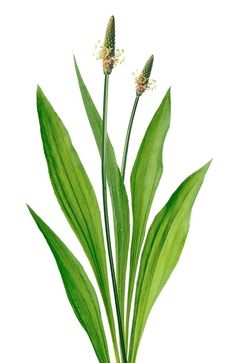 Plantain Herb Benefits, Recipes, Safety & How To Identify Plantain Plant, Herbal Remedies, Natural Remedies, Permaculture Farming, Remedies For Mosquito Bites, Salve Recipes, Mother Earth News, Medicinal Herbs, Korn