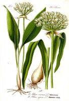 Botanische tekening daslook