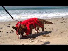 Dog Lobster Video (SoCal Corgi Beach Day)