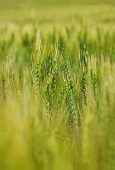 """Waving Wheat"" ~ Marysville, Kansas   © 2014 Skip Hunt   skiphuntphoto.com + skiphunt.carbonmade.com + kaleidoscopeofcolor.com"
