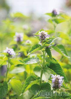 Yrtti-iiso eli anisiiso (Agastache foeniculum) tunnetaan edelleen melko huonosti. Lehdet antavat juomiin sekä jälkiruokiin makeutta. Pölyttäjien suosima iiso kukkii pitkään. Epävarmasti talvehtiva yrtti säilyy kasvupaikalla siementaimien avulla. http://www.kotipuutarha.fi/puutarhavinkit/kasvata-herkkuja/yrttien-kasvatus.html