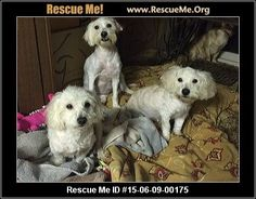 Havanese & Maltese gir (female)  Havanese Mix  Age: Young Adult   They came from a hoarder situation involving 52 dogs. They are fearful of people, had never been outside and never saw sunlight. They will need a patient and loving home. T They range from 6 months to 3 years and 7 pounds to 13 pounds.   Mountain Tails Animal Rescue Pulaski County Dublin, VA
