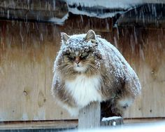 Russian farmer Alla Lebedeva has turned her homestead into a Koshlandia 'Catland' for her majestic Siberian cats (closely related to the famous Norwegian Forest Cat). - photo credit: Alla Lebedeva of Prigorodny, just outside Barnaul, Siberia Cute Kittens, Cats And Kittens, Cats Meowing, Grumpy Cats, Cats Bus, Crazy Cat Lady, Crazy Cats, Beautiful Cats, Animals Beautiful