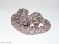 Anery Lavender Corn Snake Hatchling (Want)